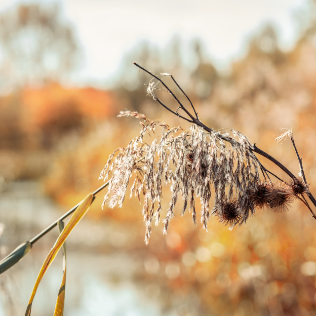 """""""National Park the Biesbosch with focus on dried reeds"""" stock image"""