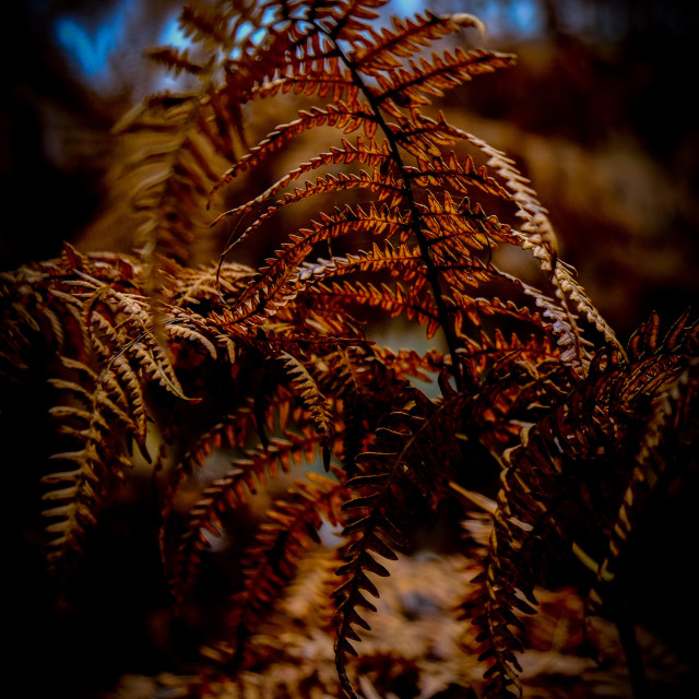 """Autumn fern"" stock image"