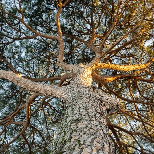 """Stone pine tree of Villa Borghese // Rome, Italy"" stock image"