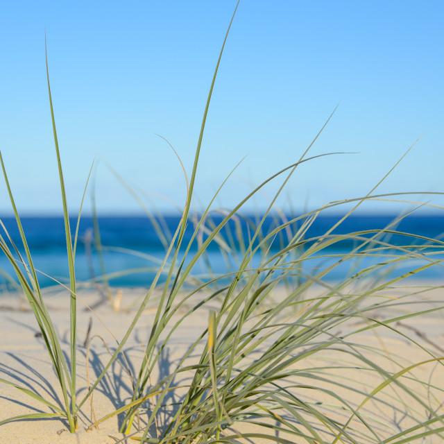 """Azure blue beach through the coastal spinifex"" stock image"