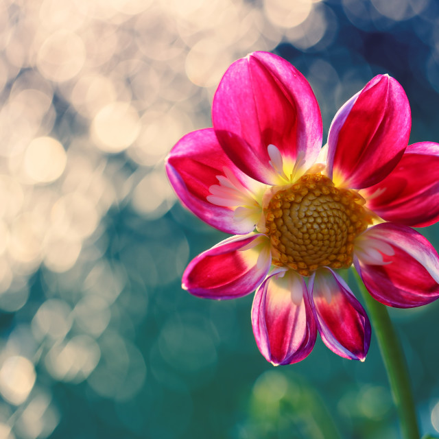 """""""Dahlia is a beautiful and colorful flower loved by gardeners."""" stock image"""