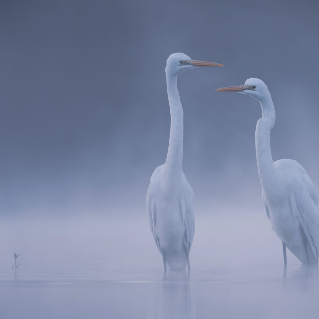 """Great Egrets in misty Morning"" stock image"