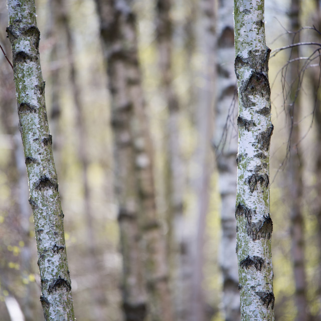 """Birch tree forest background in spring"" stock image"