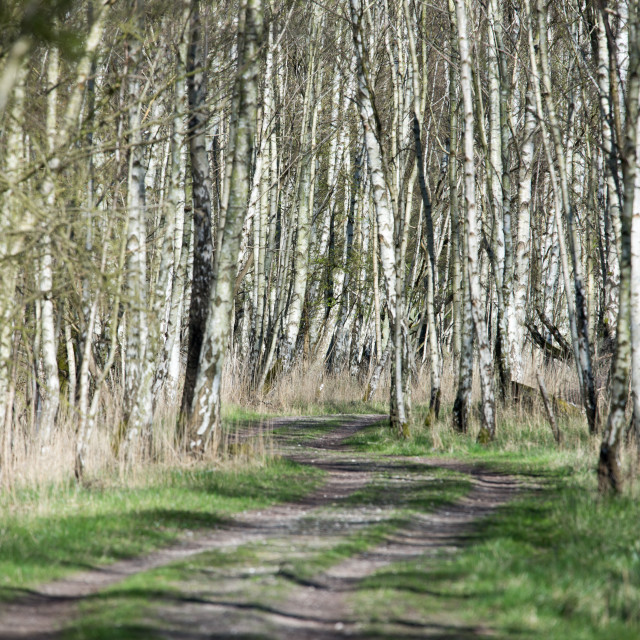 """Birch tree forest in spring"" stock image"