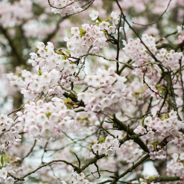 """Cherry trees blooming at Bispebjerg cemetery in Copenhagen"" stock image"