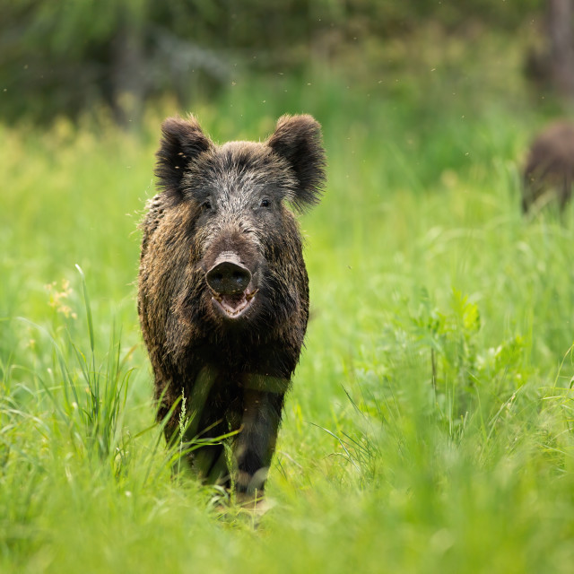 """""""Threatening wild boar standing on a clearing with mouth open in summer."""" stock image"""