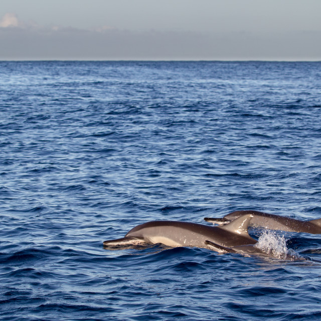 """Spinner Dolphins (Stenella longirostris)"" stock image"