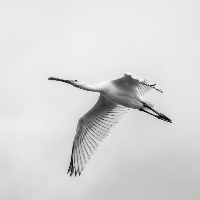 """Flight of the Spoonbill"" stock image"
