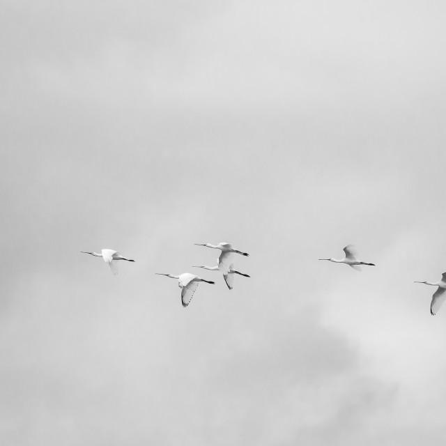"""""""Spoonbills in Flight"""" stock image"""
