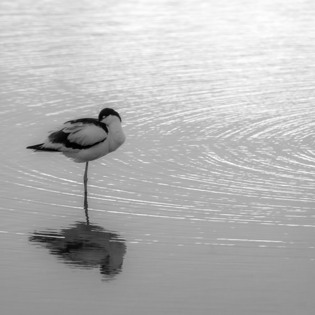 """""""Avocet at Rest"""" stock image"""