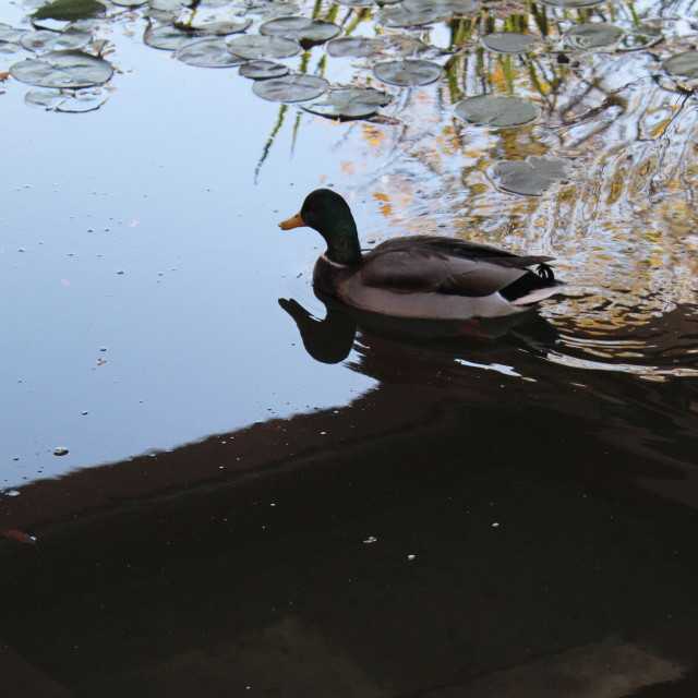 """""""a lonely duck reflection"""" stock image"""