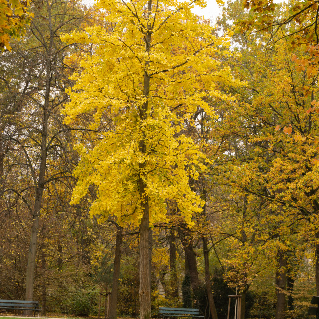 """""""yellow tree in the park"""" stock image"""