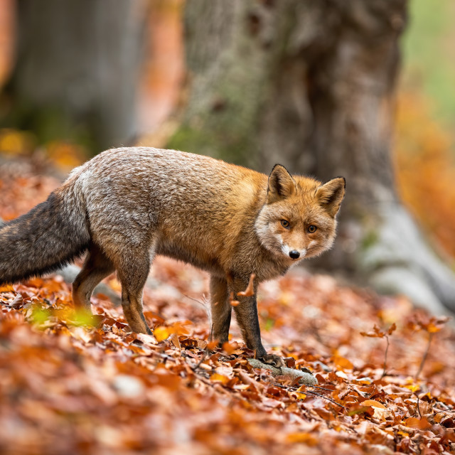 """Cute adult red fox in winter coating facing camera in forest in autumn."" stock image"