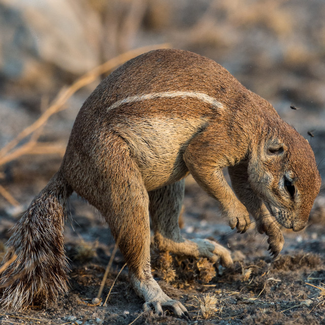 """Ground squirrel exploring"" stock image"