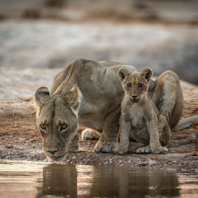 """Lioness and cub drinking"" stock image"