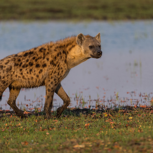 """Prowling spotted hyena"" stock image"