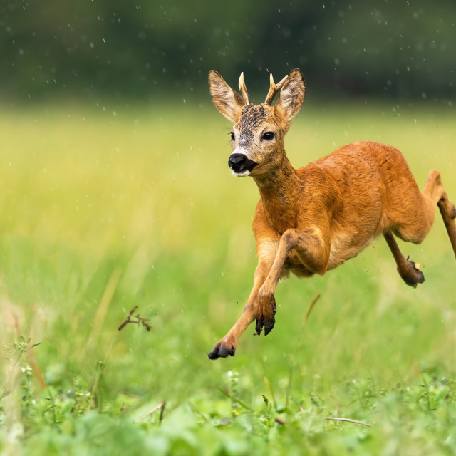 """Young roe deer buck with small antlers jumping in the rain in summertime"" stock image"