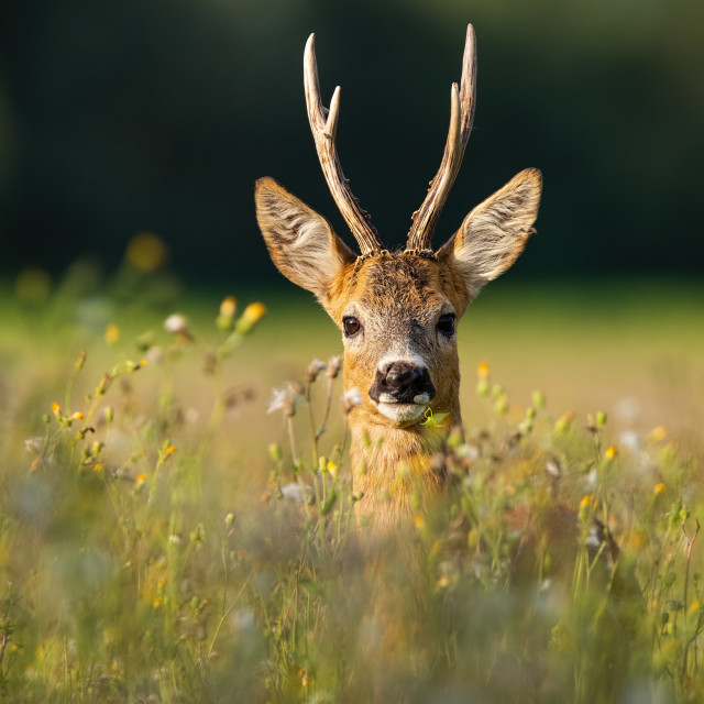 """Adult roe deer buck with long antlers hidden in grass with wildflowers looking"" stock image"