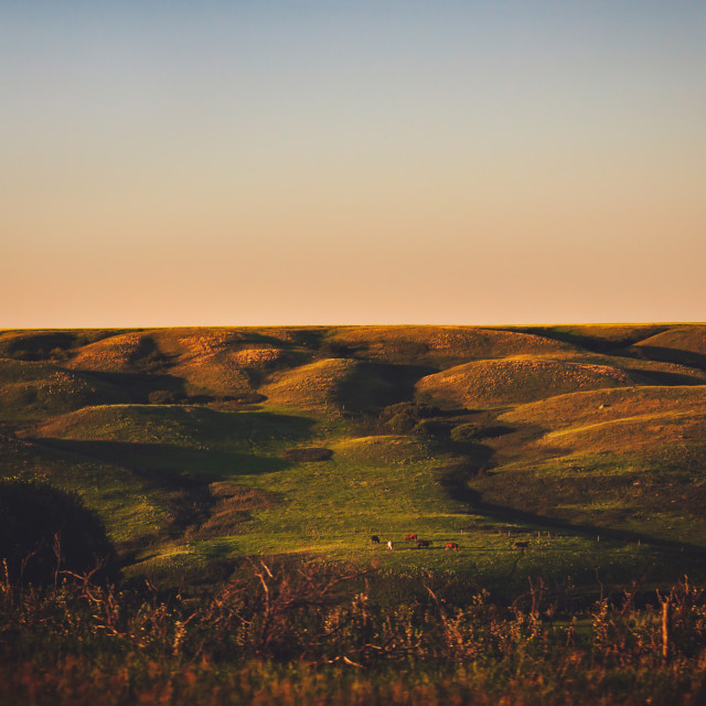 """""""A couple cows grazing in a rolling green hillside pasture in a summer sunset evening countryside landscape"""" stock image"""