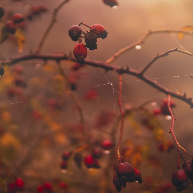 """Morning rosehips"" stock image"