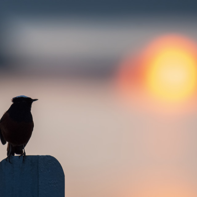 """White-capped redstart at sunrise"" stock image"