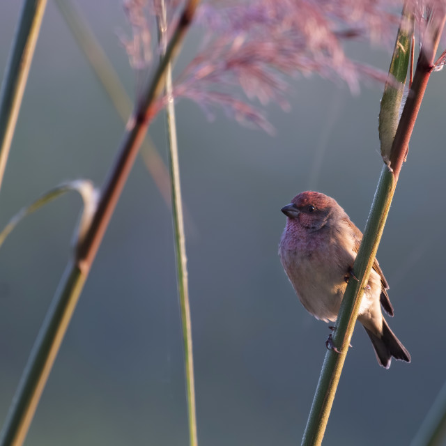 """Common rosefinch (Carpodacus erythrinus)"" stock image"