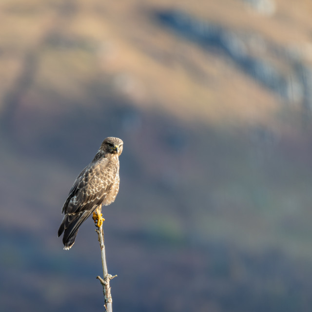 """""""Buzzard, on top of a small tree"""" stock image"""
