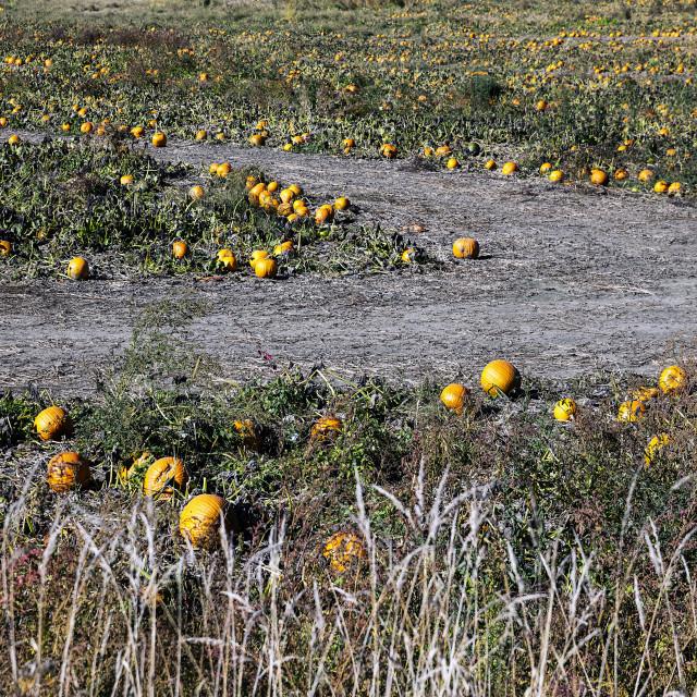 """Large pumpkin patch, Vermont, USA"" stock image"