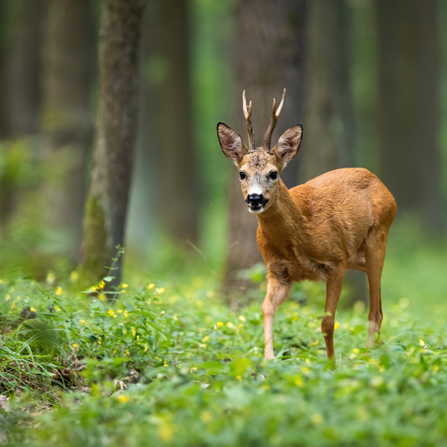 """Roe deer walking on the forest between flowers with trees in the background"" stock image"