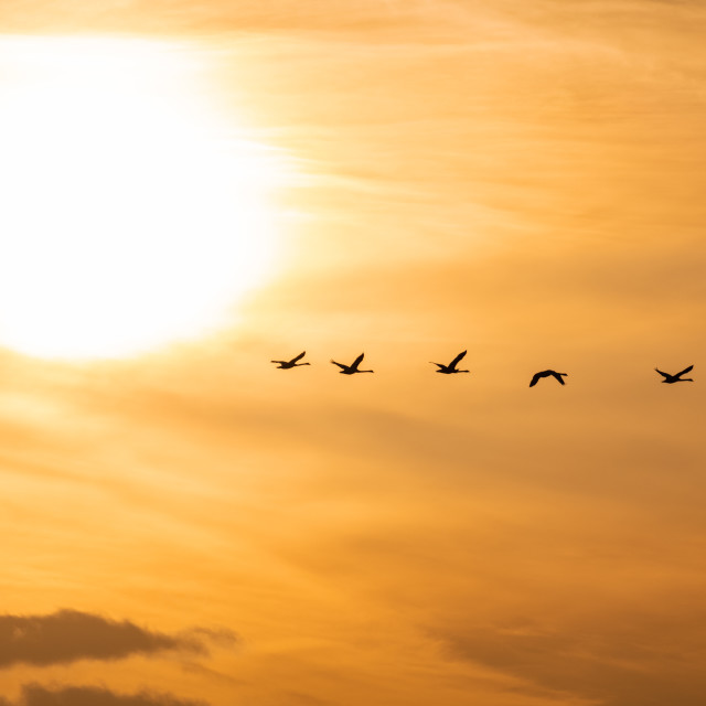 """""""Swan Silhouettes at sunrise"""" stock image"""