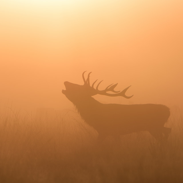 """Reg Stag At Sunrise"" stock image"