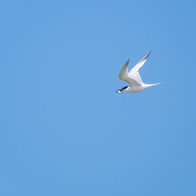 """""""Sandwich Tern in Flight"""" stock image"""