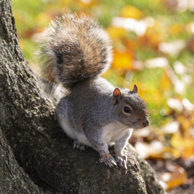 """""""Grey Squirrel on Tree Root"""" stock image"""