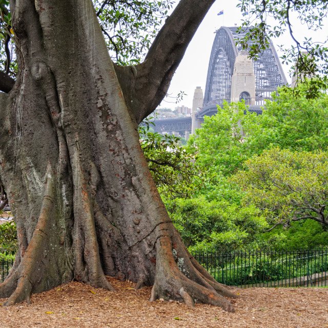 """Moreton Bay Fig tree - Sydney"" stock image"