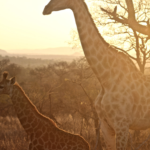 """Sunset Giraffes"" stock image"