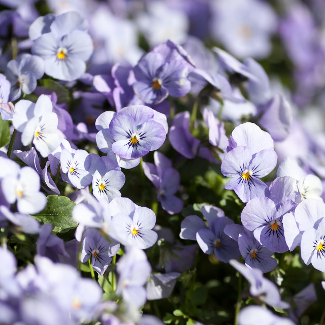"""Blooming Violets in a Spring Garden"" stock image"