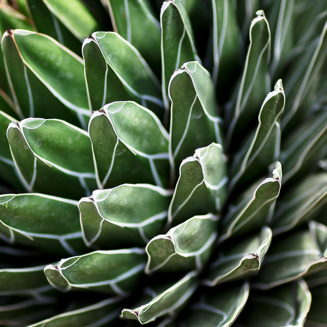"""Queen Victoria Agave"" stock image"
