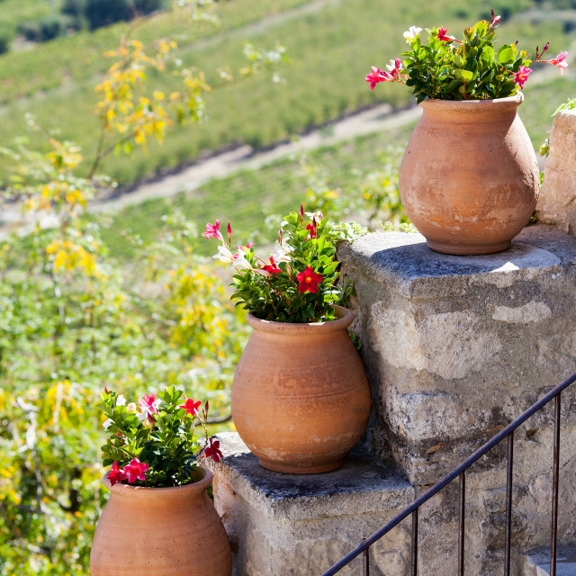 """Pots of Chilean Jasmine in Provence, France"" stock image"