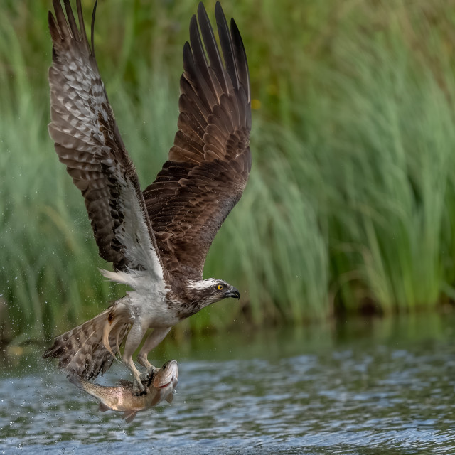 """OSPREY WITH LARGE TROUT"" stock image"
