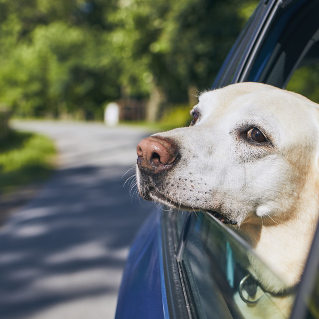 """Dog travel by car"" stock image"