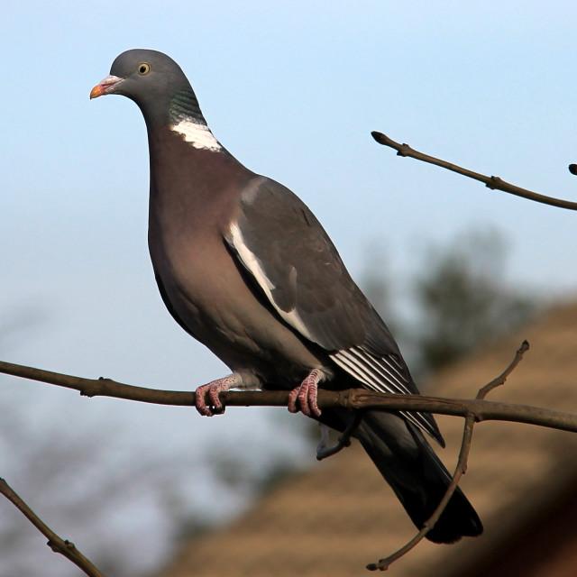 """""""Woodpigeon"""" stock image"""
