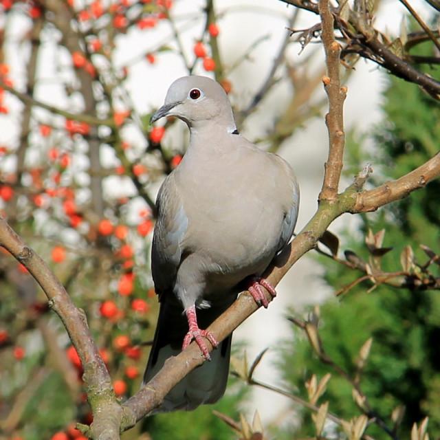"""British bird, Collared dove"" stock image"