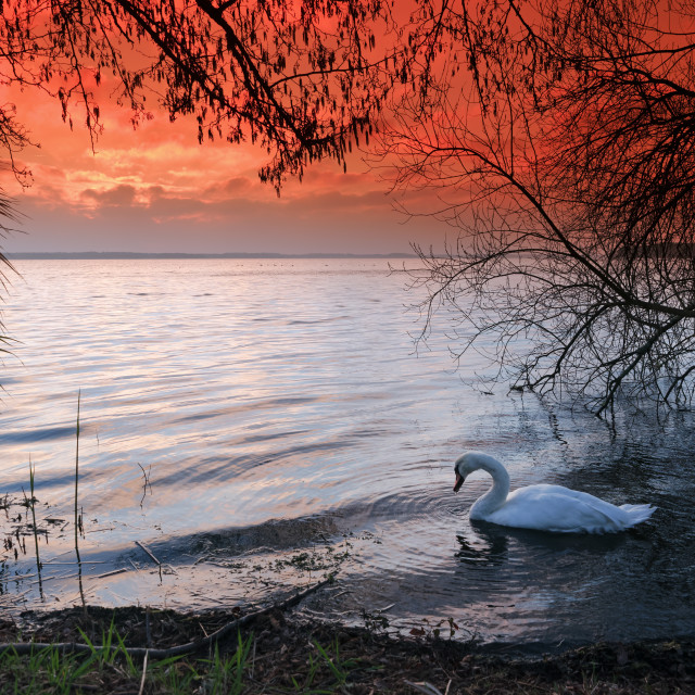 """Lacanau swan"" stock image"