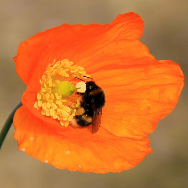 """Bee and poppy"" stock image"