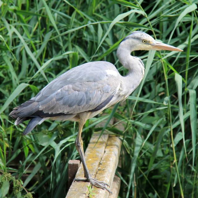"""""""Heron in Redcar's Locke Park"""" stock image"""