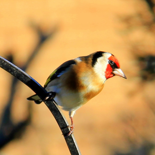 """Posing Goldfinch"" stock image"