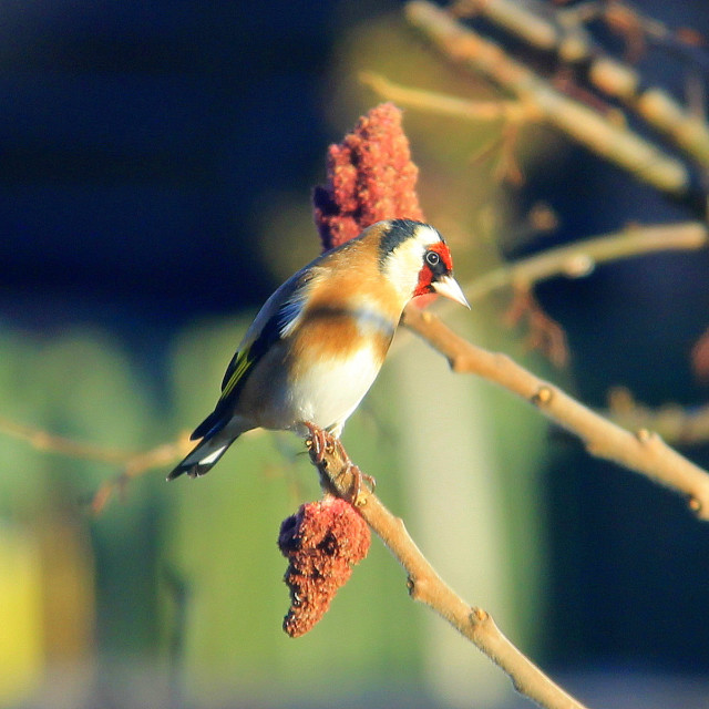 """Goldfinch."" stock image"