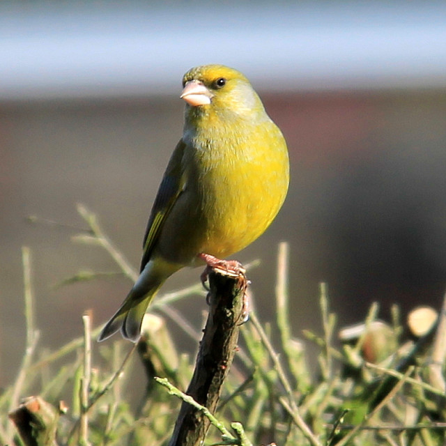 """Greenfinch"" stock image"
