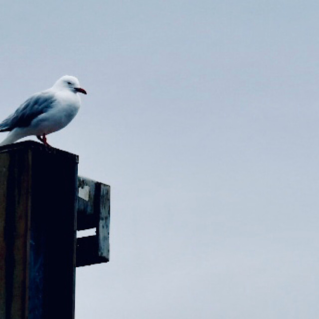 """Solitary Seagull"" stock image"