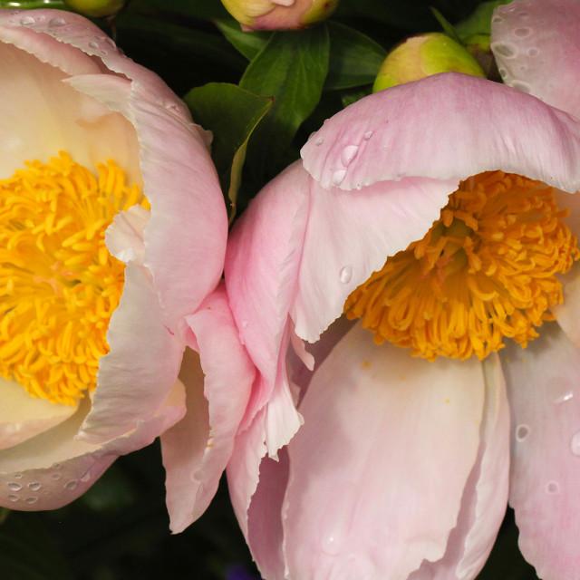 """Flowering Peony, Asia, Europe, Western North America"" stock image"